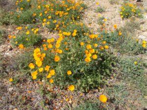 Chilito Mines Poppies